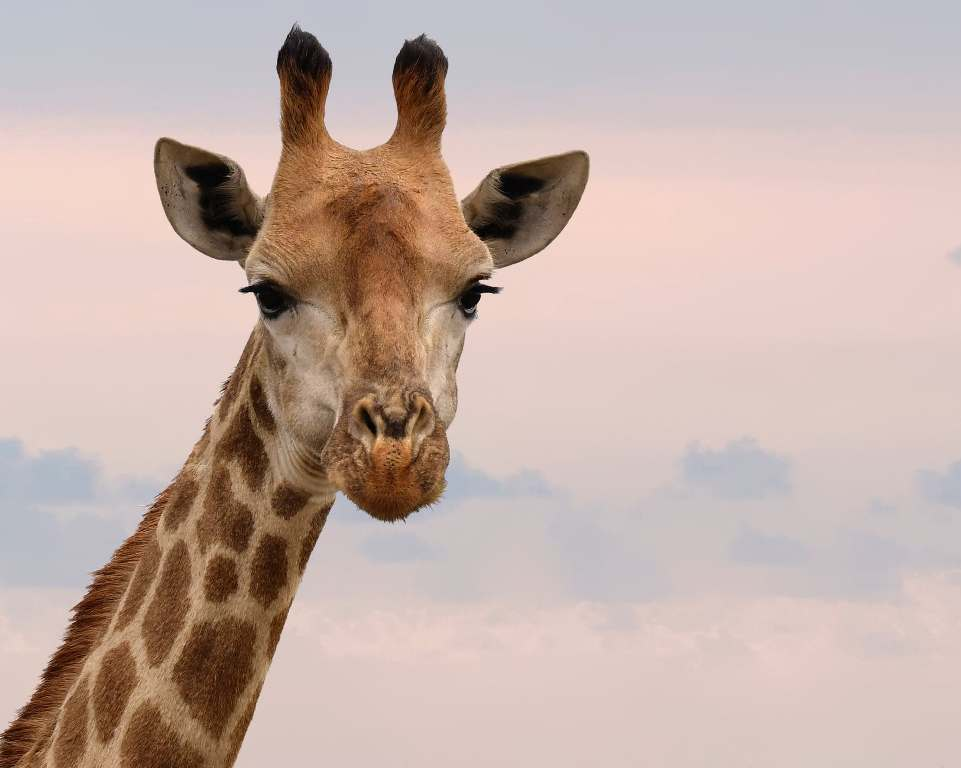 Giraffenpark eröffnet